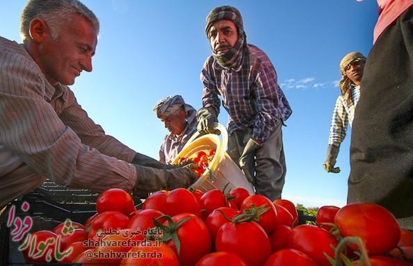 Photo of یادداشت مدیرمسئول | تشکیل شرکت تعاونی گوجه کاران شاهرودی و کارخانجات فرآوری، ضرورت و راه حل معضل