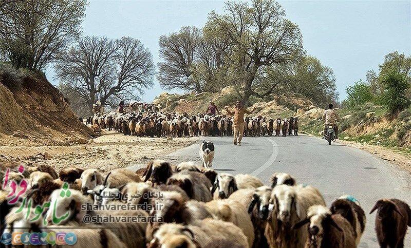 Photo of ۸۰۰۰ تن جو برای تامین علوفه دام عشایر استان سمنان تهیه شد